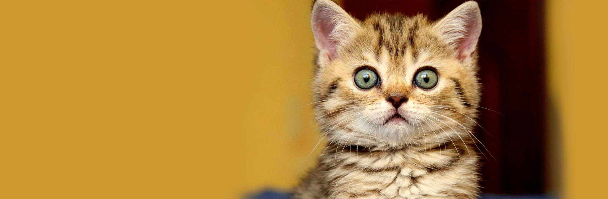 Savannah Cats For Sale Milwaukee